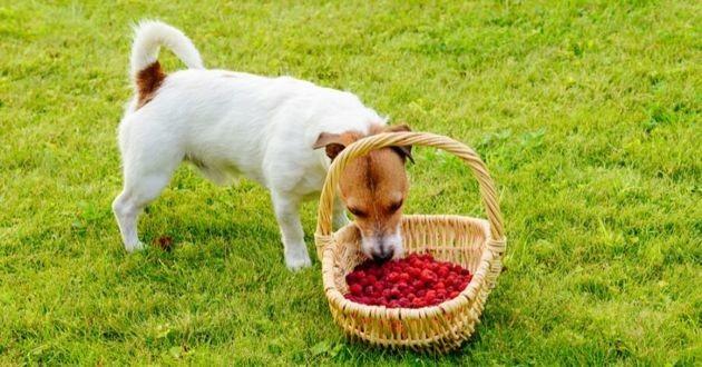 chien qui mange des framboises