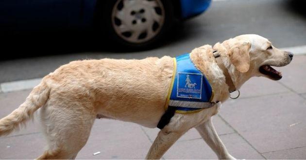 chien guide en formation