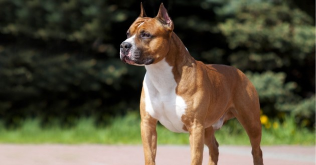 un american staffordshire terrier pure race