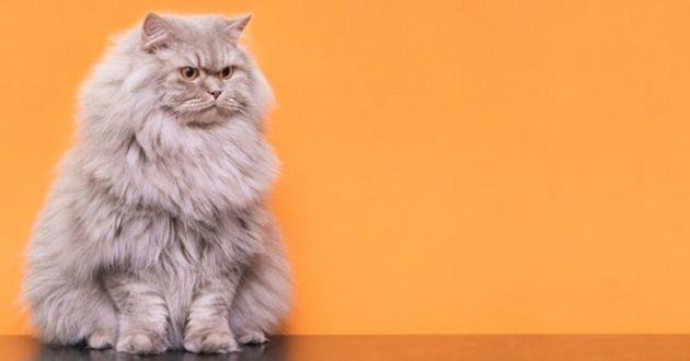 chat gris sur fond orange