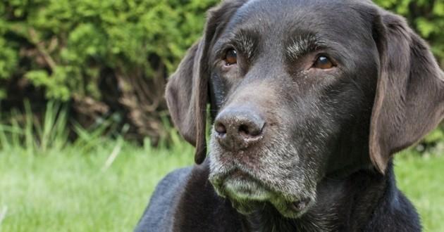 grisonnement précoce museau chien
