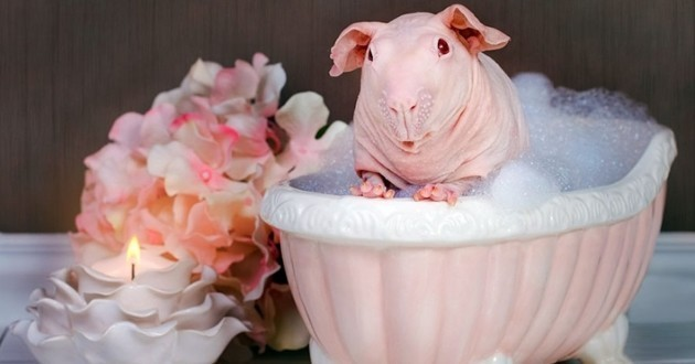 Cochon d'inde nu bain