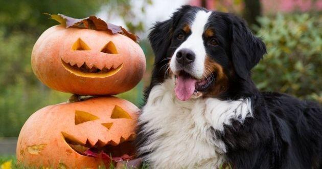 halloween chien