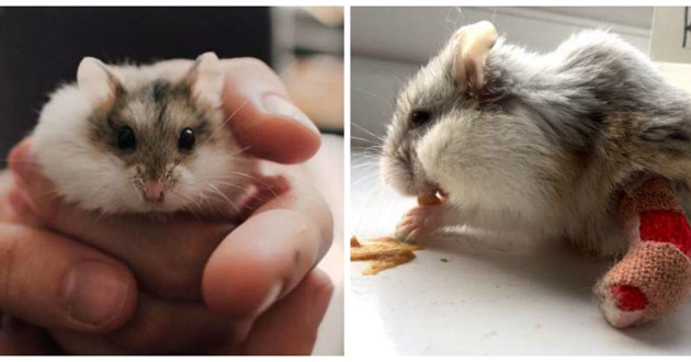 hamster avec un plâtre