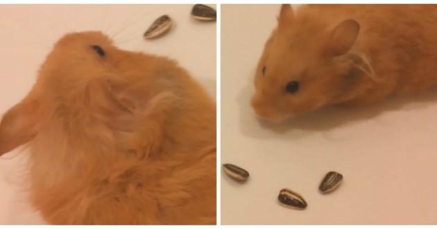 hamster coeur graines