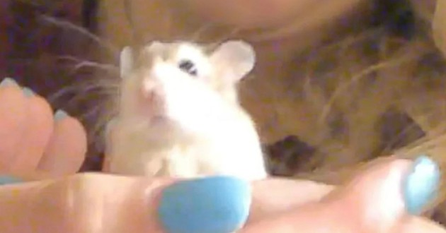 hamster russe blanc