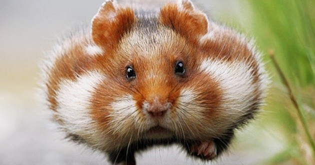 hamster roux potelé