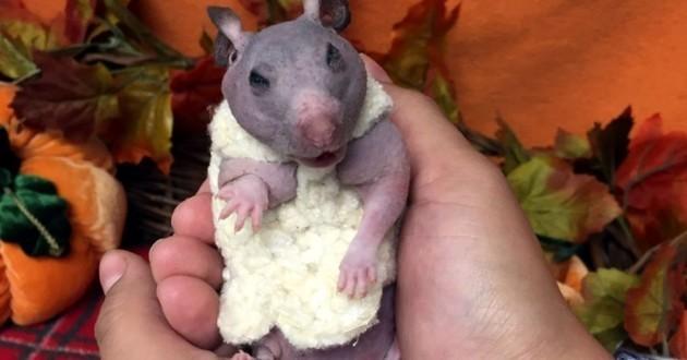 hamster nu avec un pull