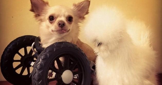 chiens handicap chariots appareillage
