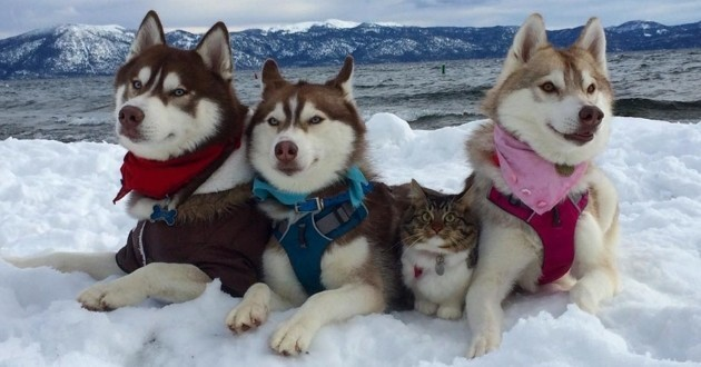 chat huskies