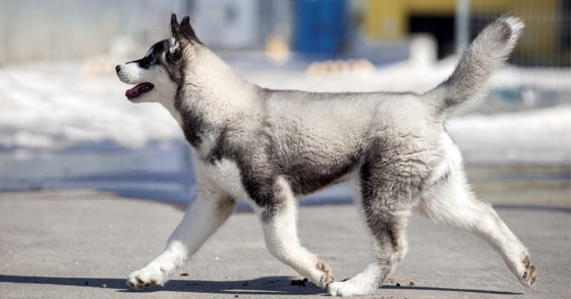 un Husky qui court dehors