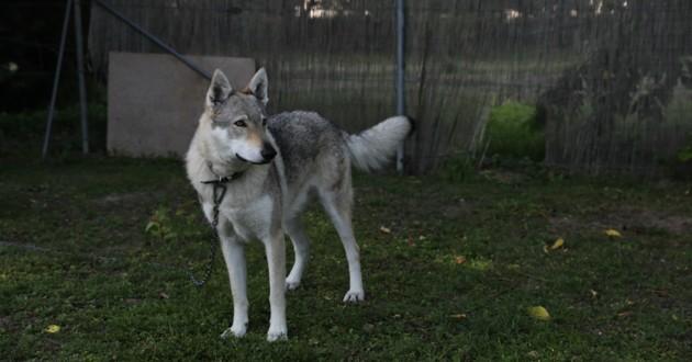 husky dans un jardin