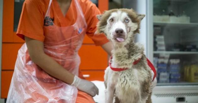 husky femelle abandon adoption