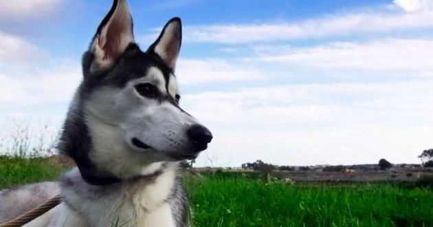 chien husky malade