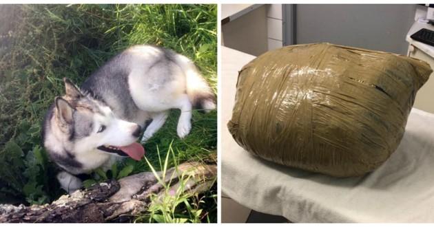 husky dans un sac