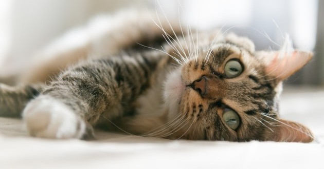 chat hyperthyroïdie