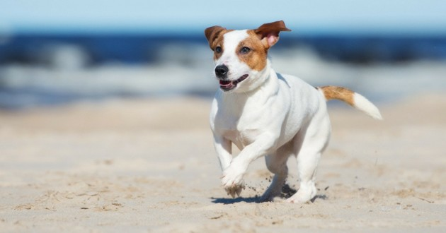 chien jack russell plage