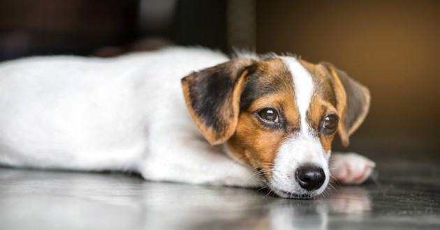 jack russell coccinelle