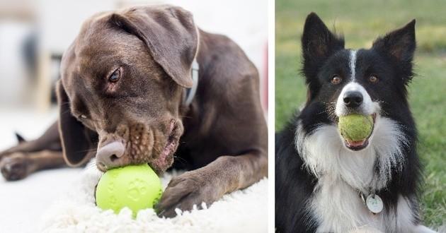 Races de chiens les plus joueuses