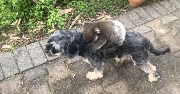 Un koala et un chien