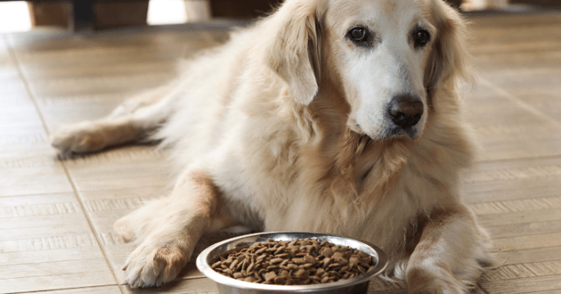 labrador chien