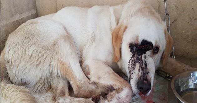 croisé labrador blessé aux yeux