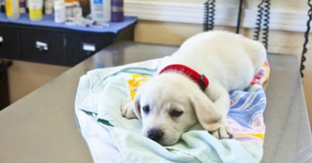 labrador chiot euthanasie
