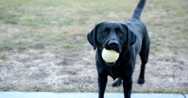 Labrador balle