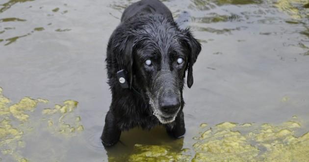 labrador noir étang