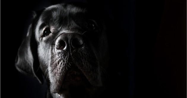 Un labrador qui a sauvé sa maîtresse