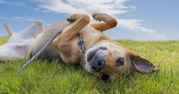 chien couché dans l'herbe avec une laisse