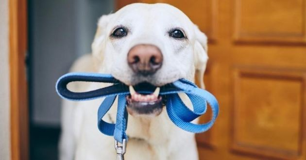 chien avec sa laisse en bouche