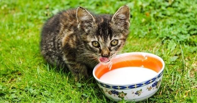 chat lait