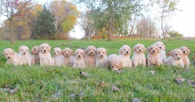 16 nouveau-nés chiots