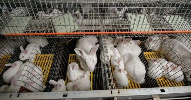 lapins en cage