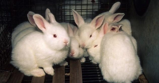 lapins libérés laboratoire