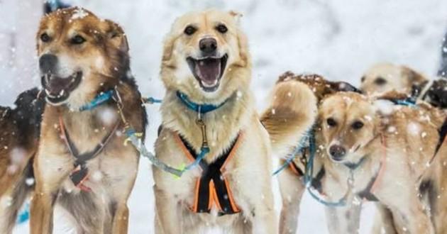 chiens course grande odyssée