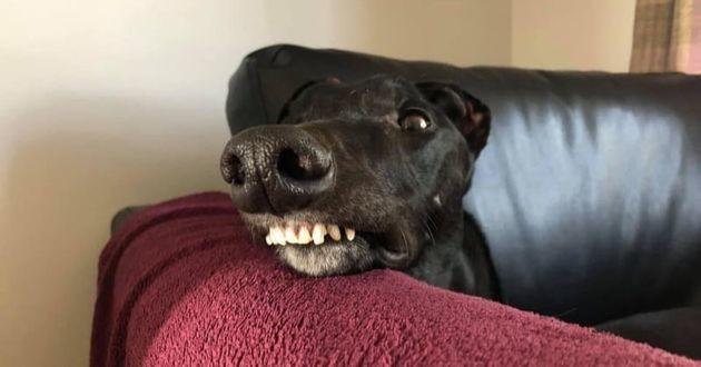 Joe un greyhound noir