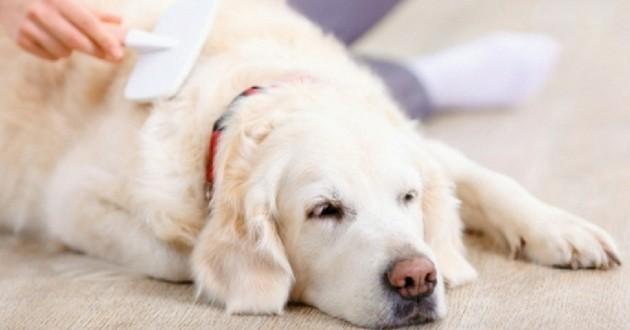 brossage chute de poils chien