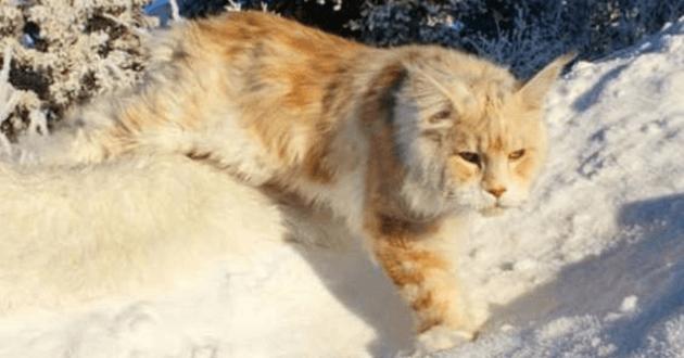 Chat qui marche dans la neige