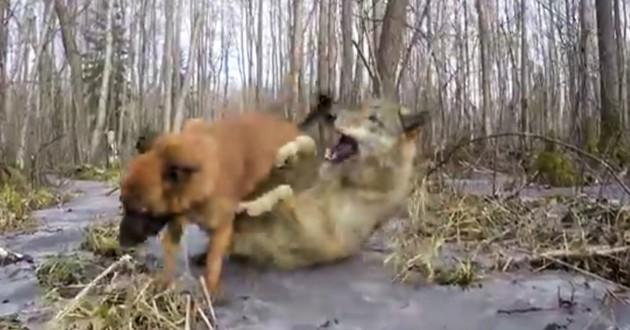 chien en train de jouer avec un loup