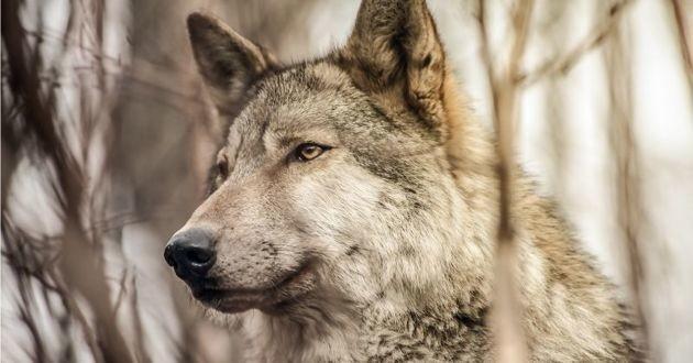 un loup dans les bois