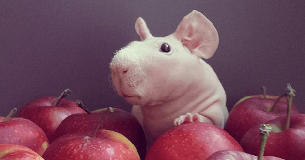 Rescapé de mauvais traitements, Ludwik le cochon d'Inde mène désormais une vie de star !
