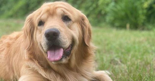 luke golden retriever chien