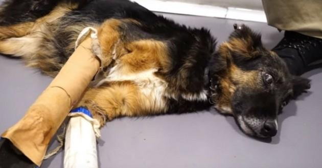 Luna chienne gestante aveugle pattes cassées