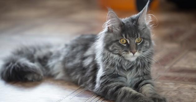 Jeune chat de race Maine Cool
