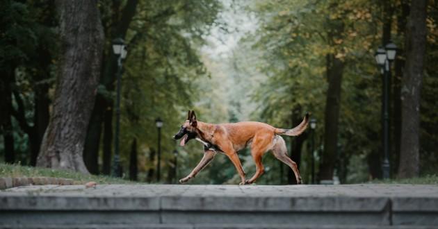 malinois chien