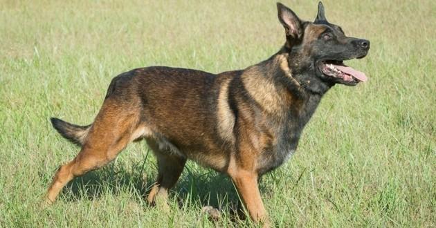 malinois chien tué chasseur