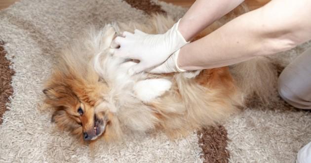 un chien qui reçoit un massage cardiaque