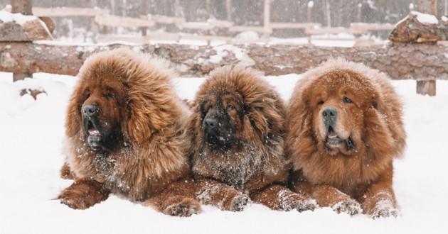 mastiff tibétain dans la neige